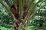 L'huile de palme peut être durable !